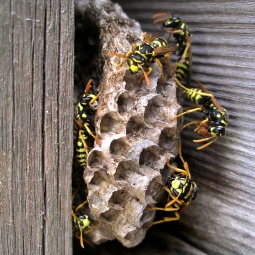 European Paper Wasps