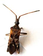 Pine Seed Bug