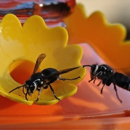 Bald Faced Hornets