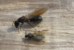 Carpenter Ant Queen and King