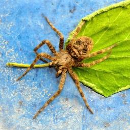 Wolfe Spider