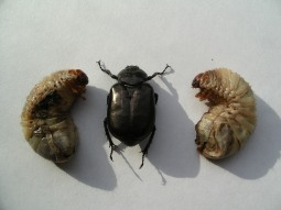 Scarab Beetle and Larvae