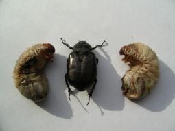 Scarab Beetle and Larvae